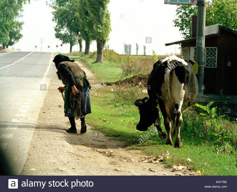 old-lady-leading-cow-to-pasture-in-romania-A3Y78E